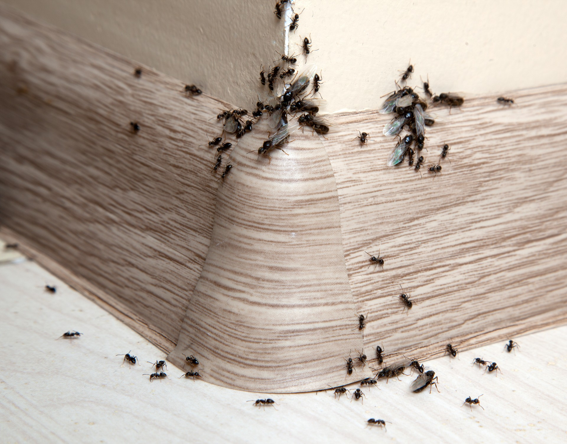 Ant Infestation, Pest Control in Thornton Heath, Broad Green, CR7. Call Now 020 8166 9746