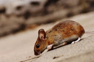 Mouse extermination, Pest Control in Thornton Heath, Broad Green, CR7. Call Now 020 8166 9746